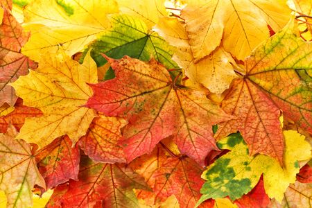 Red yellow maple leaves background. Autumn fall arrangement