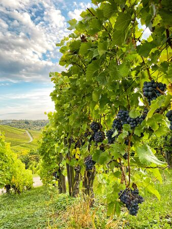 Vineyard autumn countryside landscape with blue sky