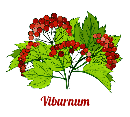 Bunch of viburnum branches. medicinal plant Illustration