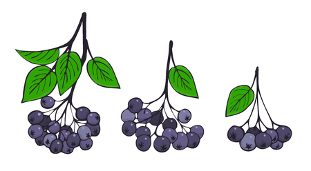 Set of isolated branches of aronia. Bunches of black Rowan. Vector