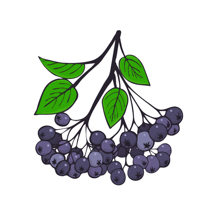 Isolated branch of black ash berry with foliage. Berries of Aronia. Vector illustration.