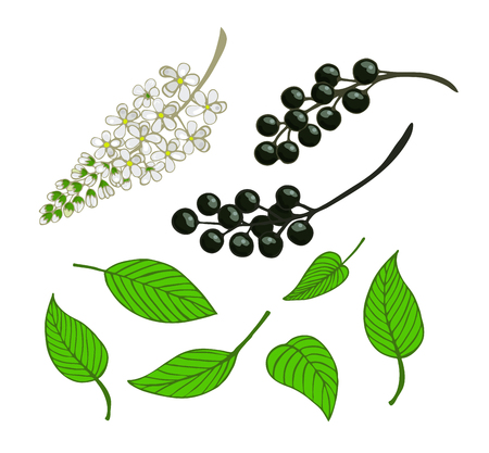 A set of bird cherry. Isolated berries, flowers and leaves of Mayday tree. vector. Illustration