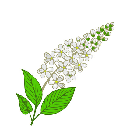 flowers of Mayday tree. Inflorescence of Panus padus or Bird cherry tree. Vector illustration. Illustration
