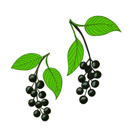 two isolated bunch bird cherry, hackberry or hagberry. Vector illustration. Illustration