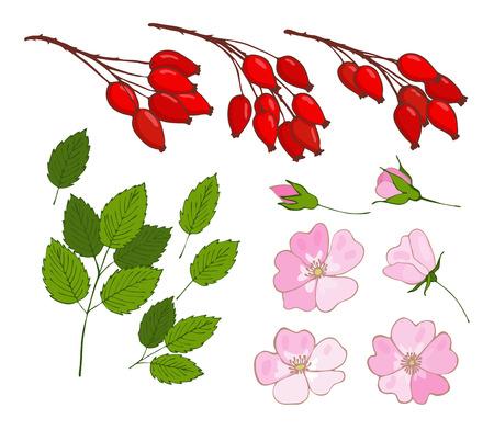 Un conjunto de rosa de perro. Conjunto de bayas aisladas, flores y hojas rosa canina. vector