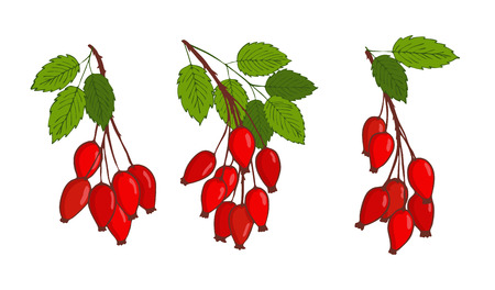 set with bunches of isolated hip rose or rosehip. vector Illustration