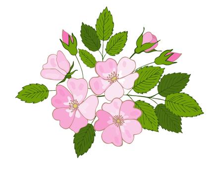 branch of blossoming dogrose. flowers and buds of dog rose. vector eglantine Illustration