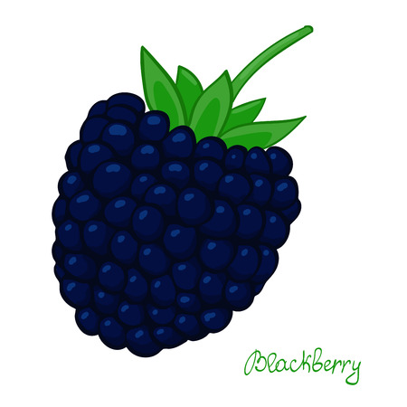 Ripe blackberry. isolated dewberry on white background. summer berry of bramble.