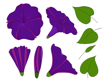 Isolation elements of violet or blue bindweed.   A flowers buds and leaves of morning-glory.