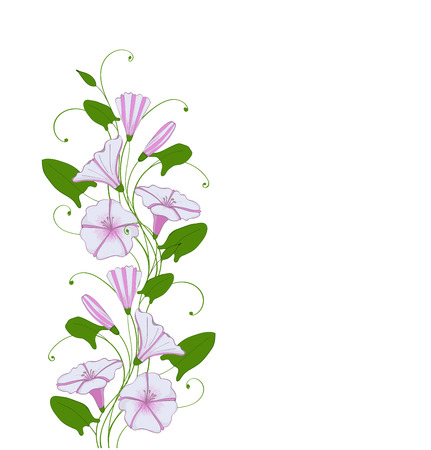 Isolate element for design flower bindweed, floral border with morning glory. Convolvulus tender pattern Ilustração