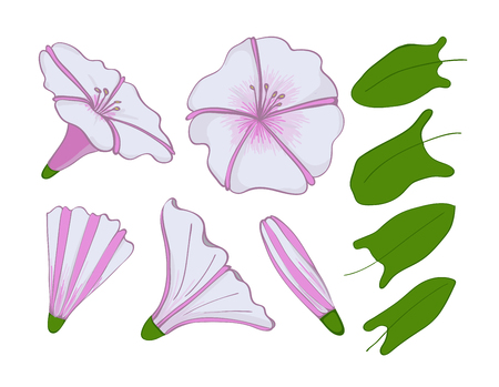 Isolation elements of white and pink bindweed. flowers, buds and leaves of morning-glory of Set convolvulus Ilustração