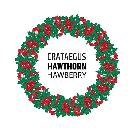 A wreath of autumn hawthorn berries. Crataegus or haw ornament. Illustration