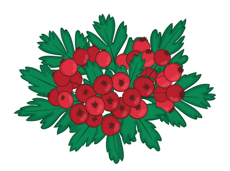 isolated bunch of hawthorn with ripe red berries. Illustration