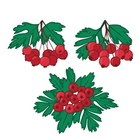 Een set van drie trossen rijpe bessen van meidoorn. Crataegaus of haw clusters Vector illustratie.