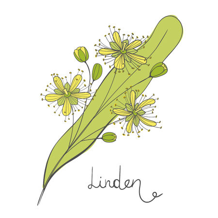 Isolated branch of linden. Leaves, flowers and buds of Tilia. Element of the basswood tree. Lime or limetree