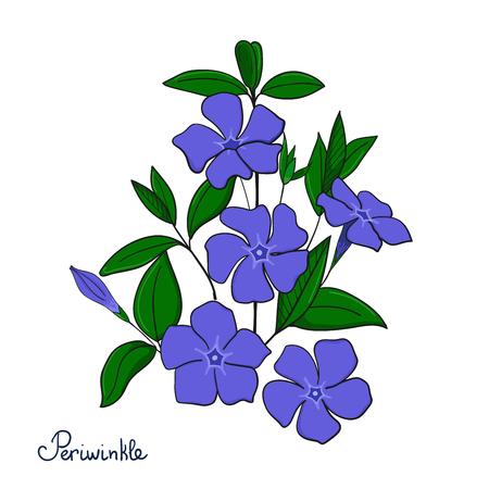 Isolated decorative element periwinkle bouquet. Blue flowers vinca. Vector