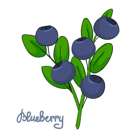 Sprig of blueberry. Leaves and berries of bilberries on a branch. Forest plant huckleberry. Isolated twig of whortleberry or blueberry Hurtleberry Vector illustration.