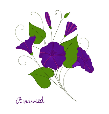 decorative element convolvulus bouquet. blue or purple flowers bindweed. isolated morning-glory. illustration Banco de Imagens