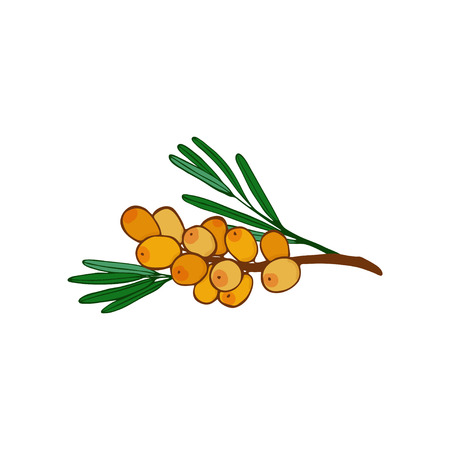 isolated sea buckthorn branch and cluster . leaves and berries. twig of seaberry