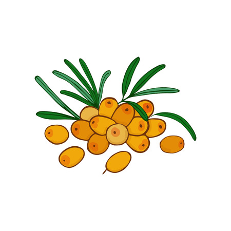 isolated sea buckthorn branch and cluster . leaves and berries. Vector seaberry Illustration