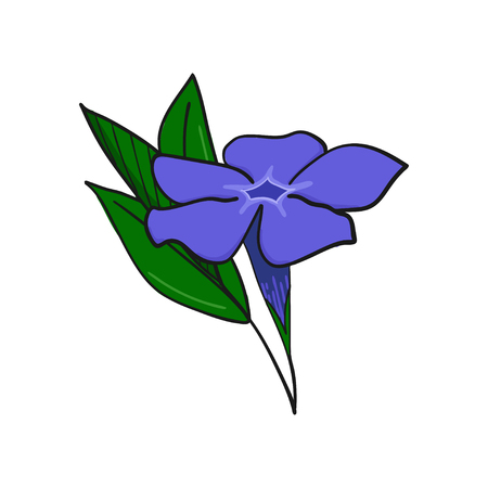 Periwinkle blue flower at the side. Bud and leaves of vinca. floral decorative element