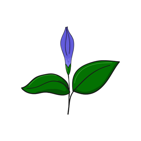 Periwinkle closed blue flower. Bud and leaves of vinca. floral decorative element