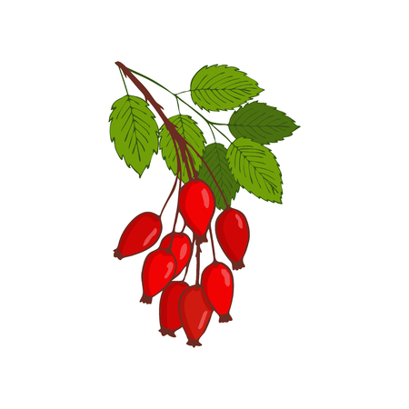 bunch of hip rose or rosehip. twig with berries and leaves. Isolated