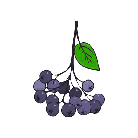 isolated branch of aronia. Bunch of black Rowan. Twig with berries and leaves. Autumn plant