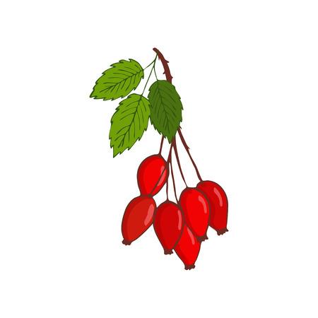 Bund Hüftrose oder Hagebutte. Zweig mit Beeren und Blättern. Isoliert