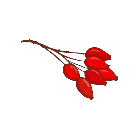bunch of hip rose or rosehip. Isolated twig with red berries. Autumn plant