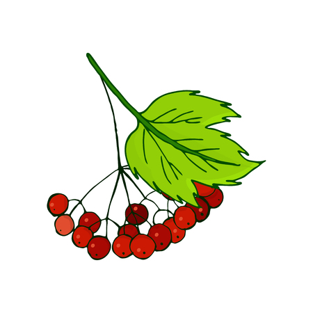 viburnum branch. Bunch with ripe autumn red berries in foliage. Twig and leaves
