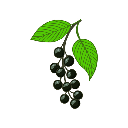 isolated bunch bird cherry, hackberry or hagberry. Twig with leaves and berries