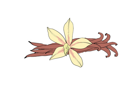 Vanilla flower and pod. An isolated spice. Vanilla Flavoring
