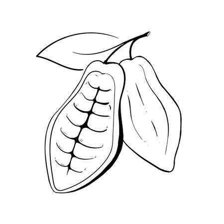 Cocoa open fruit. Chocolate cocoa beans.