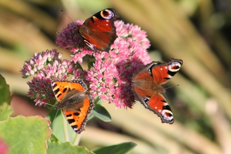 Papillon: Papillon Stock Photo