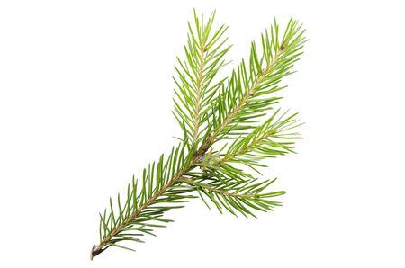 Spruce, pine branch without shadow on a white background. Object for advertising, packaging, christmas cards. 版權商用圖片