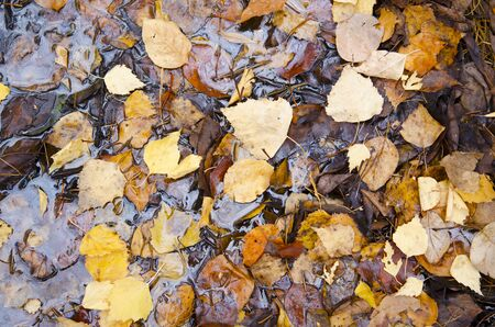 Fallen yellow autumn leaves in a puddle. Natural background