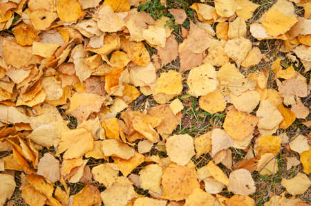 Yellow leaves on the dry grass. Autumn background Banco de Imagens
