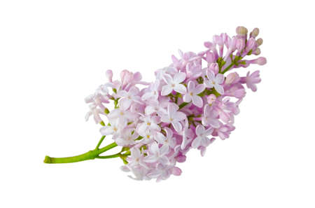 Sprig of blooming lilac isolated on a white background without a shadow. Item for greeting card, packaging, cosmetics.