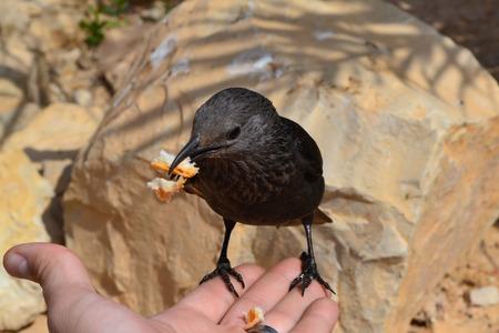 bird of israel: Feeding the bird of Masada
