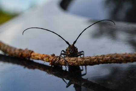 leñador: Bug leñador en una rama Foto de archivo