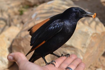 masada: Feeding the bird of Masada
