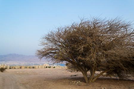eilat: Acacia tortilis, Negev desert, Israel, Eilat view