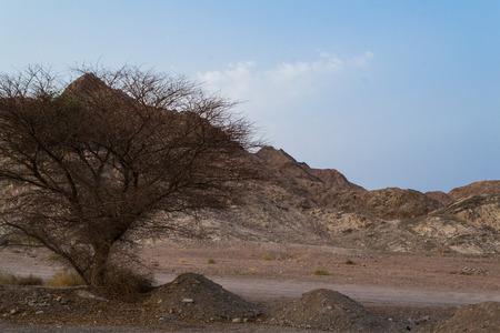 negev: Acacia tortilis, Negev desert, Israel