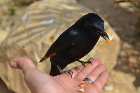 masada: Bird of Masada