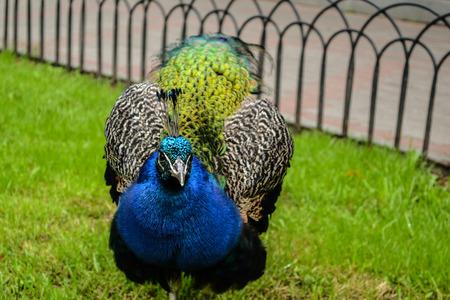 peafowl: Peafowl