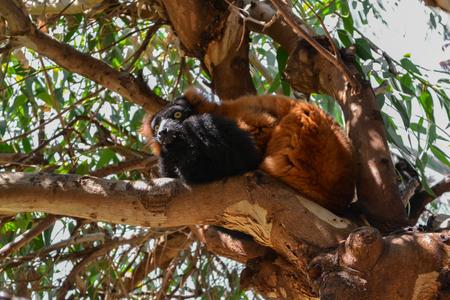 fluffy: Red fluffy lemur