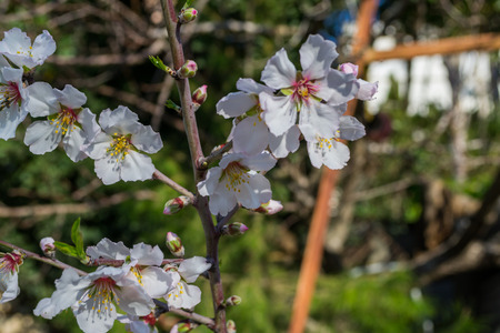 blossoming yellow flower tree: blossoming almond-tree