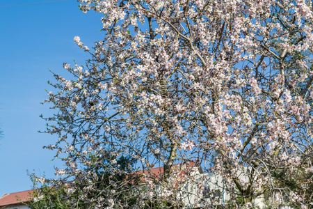 blossoming yellow flower tree: blossoming of almond-tree