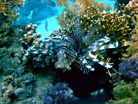 Lion Fish. Location Sharm El Sheikh photo